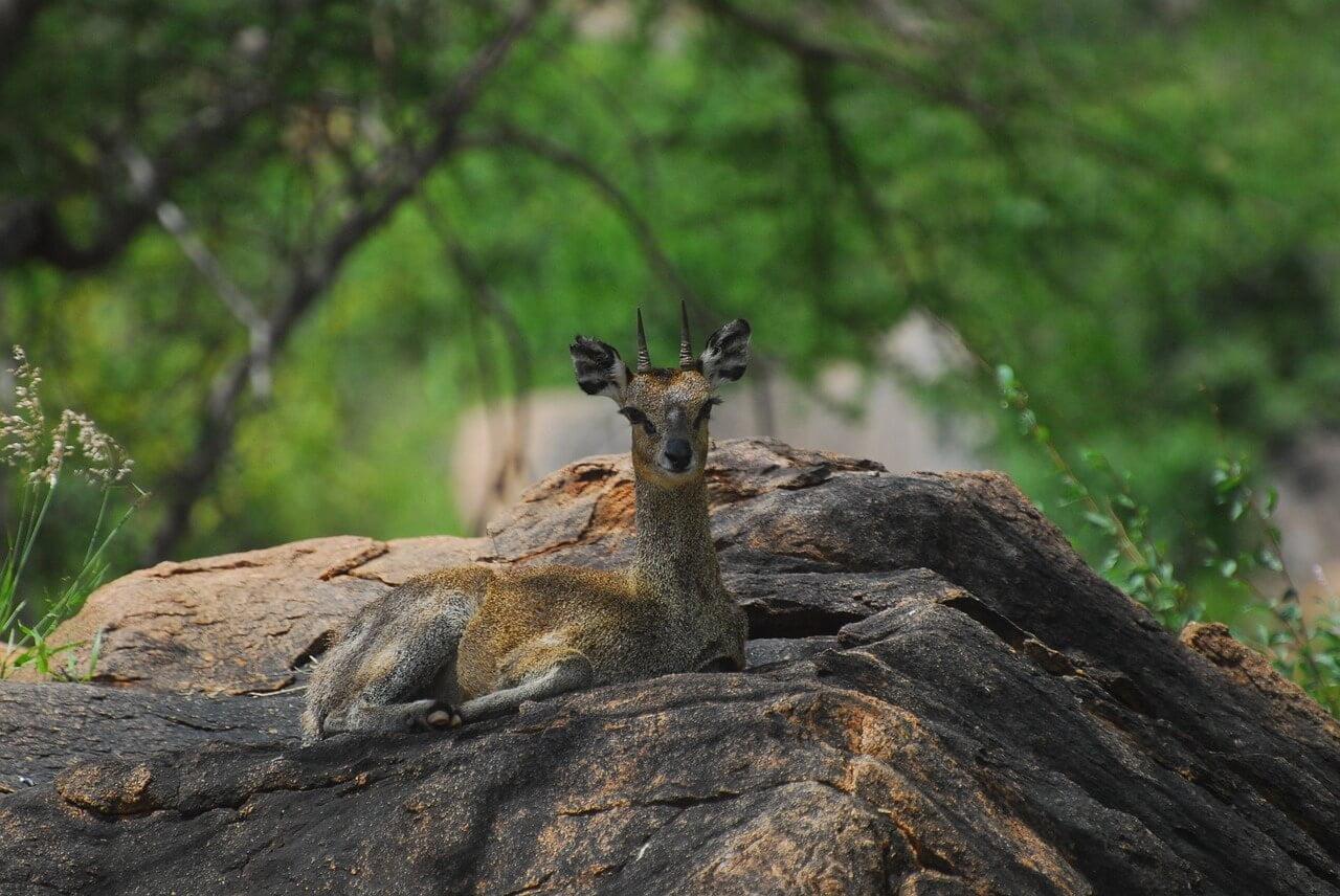 Dik Dik, Roller Tsavo West National Park