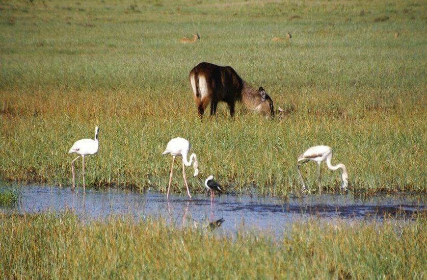 Famingos and a Waterbuck at Lake Nakuru National Park, Kenya
