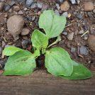 Plantain weed in Catskills garden