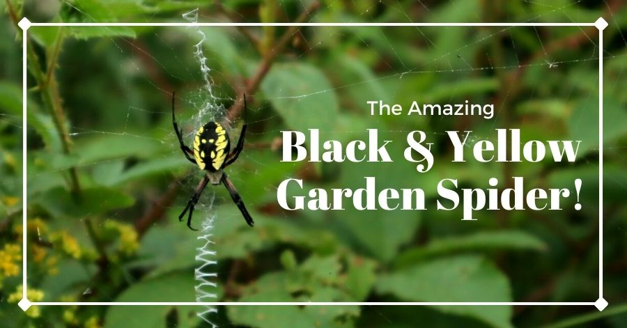 Female black and yellow garden spider sitting on its web in the Catskills, New York