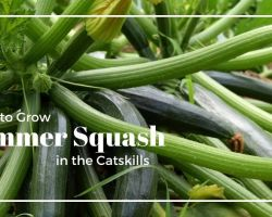 Zucchini summer squash growing on a plant