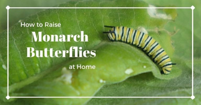 How to Raise Monarch Butterflies at Home, with Monarch caterpillar on a milkweed leaf