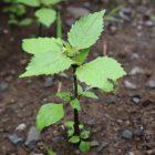 Quickweed in Catskills garden