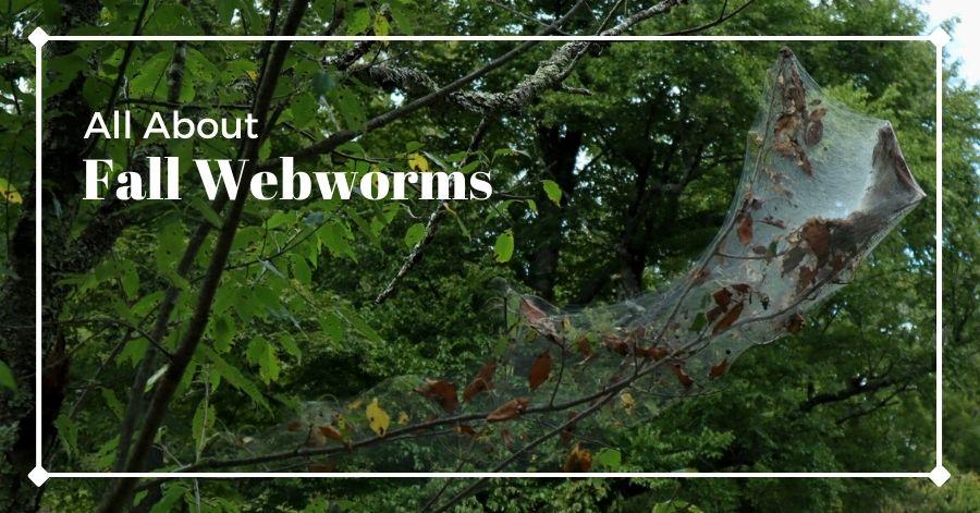 Fall webworm web in tree