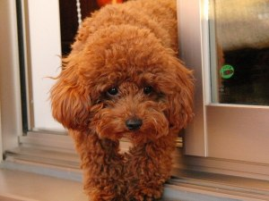 「toy poodle puppy eating」の画像検索結果