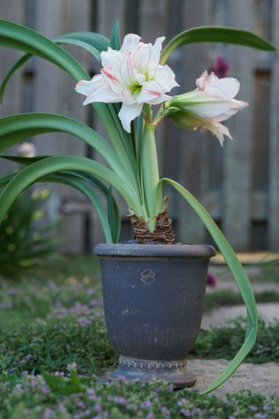 Amaryllis: Forcing For the Holidays