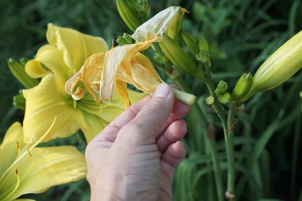 Deadheading Big Bird Daylilies