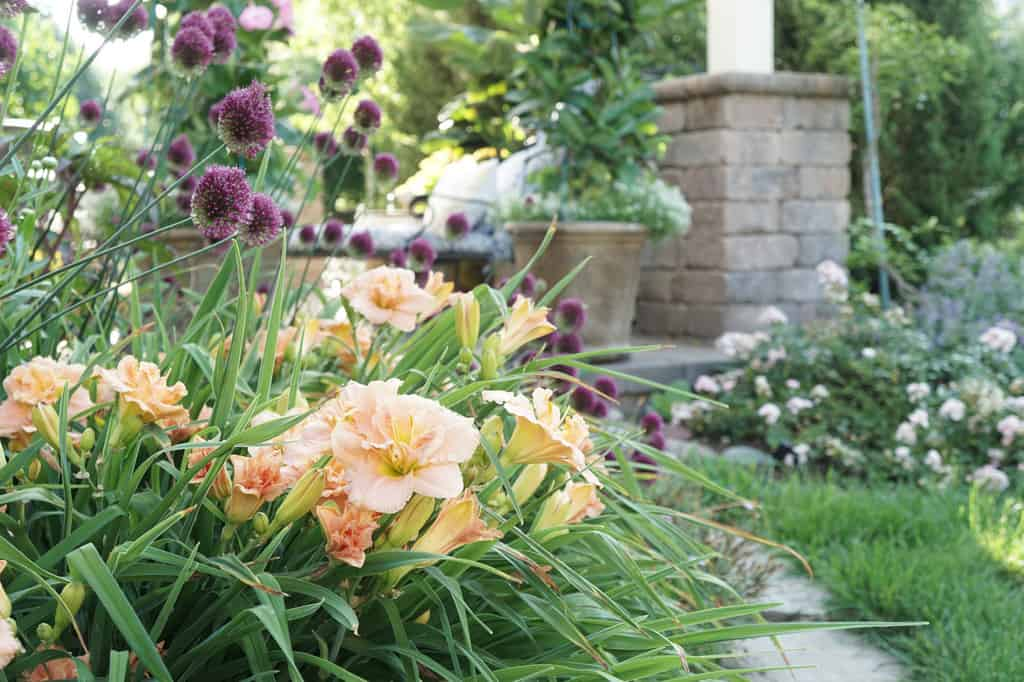 Daylilies with Drumstick Alliums