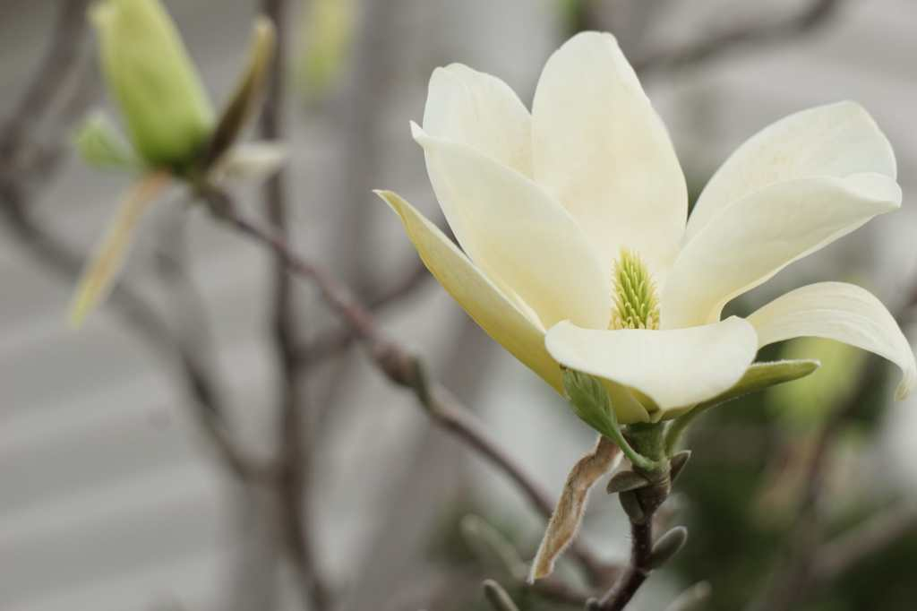 Elizabeth magnolia tree flower