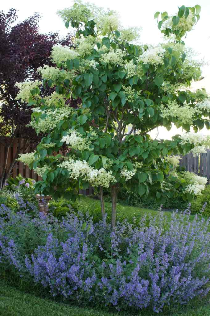 Ivory Silk Tree Lilac with Catmint