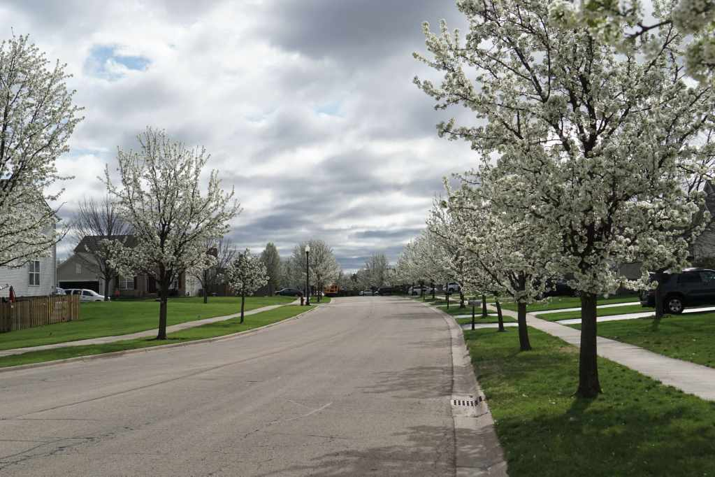 Parkway planted with Bradford Pear Tree