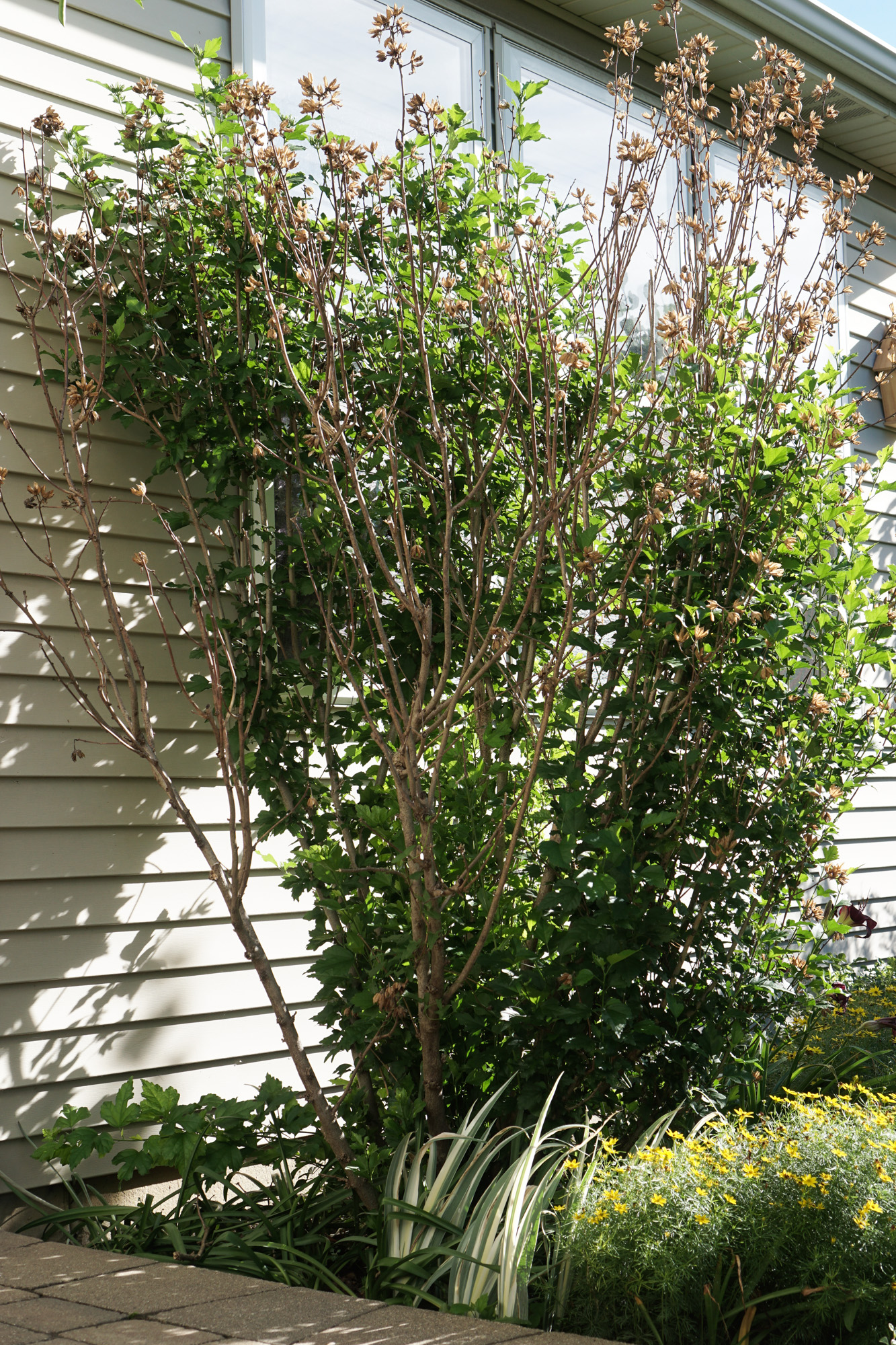 Rose of Sharon Bush Before Pruning