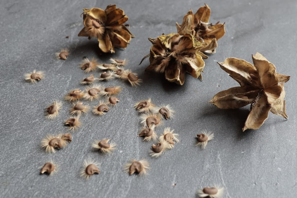 Rose of Sharon Seeds and Pods