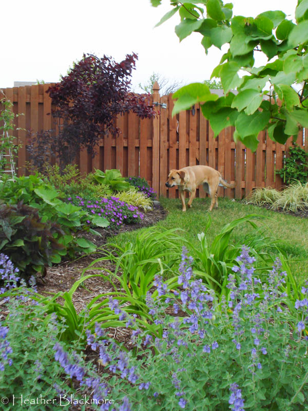 Young Purple Leaf Sand Cherry with Dog