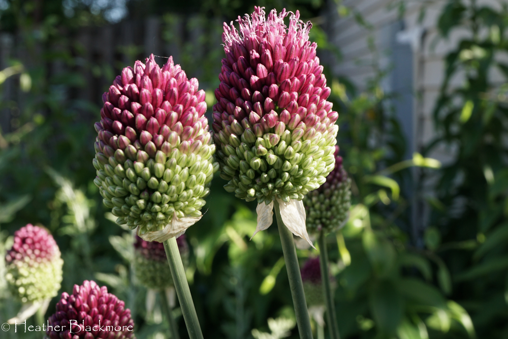 Closeup of Drumstick Allium