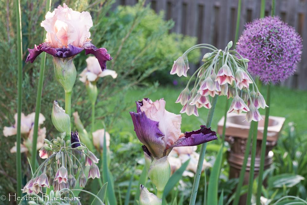 Sicilian Honey Garlic Allium with bearded iris