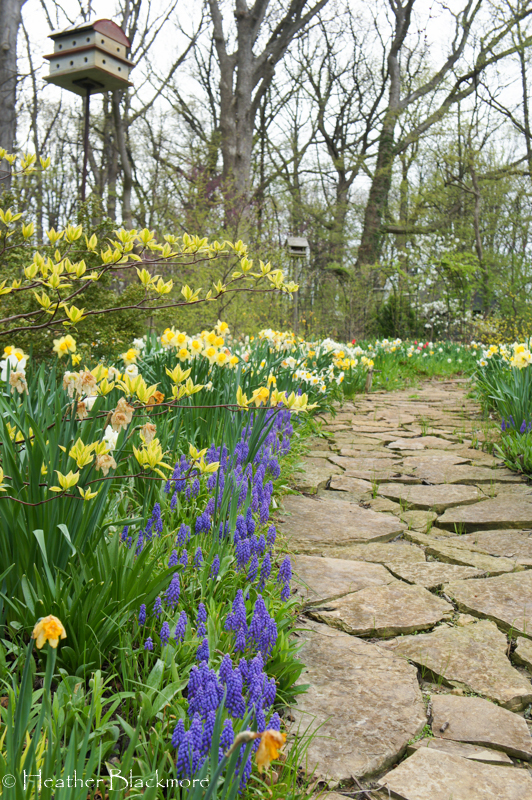 Daffodil and Muscari Spring Bulbs with Golden Shadows Pagoda Dogwood