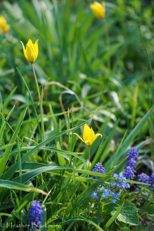 Yellow Species Tulip