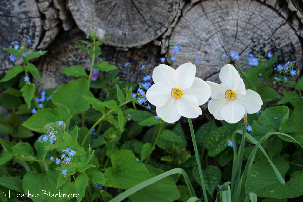 White daffodil spring bulbs with Forget-Me-Not