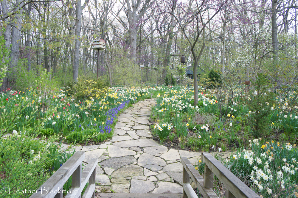 Spring Bulbs Around Flagstone Path