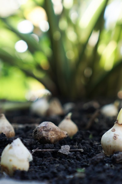 Shorten Winter With Spring Blooming Bulbs