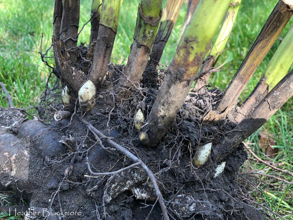 Peony root ball
