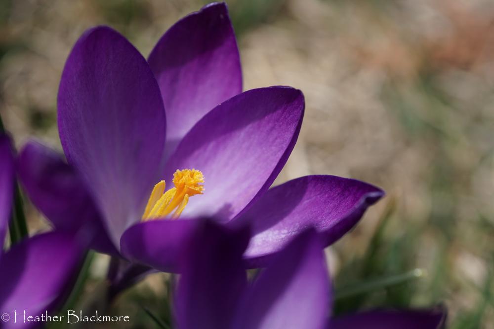 Purple Crocus Bulb flower