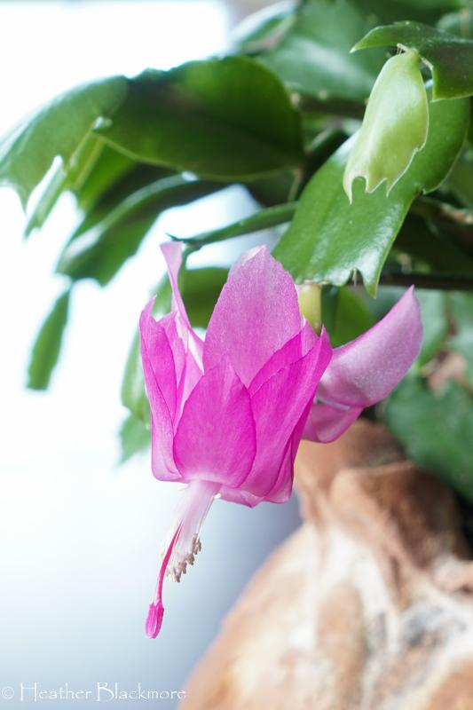 Christmas Cactus flower close-up