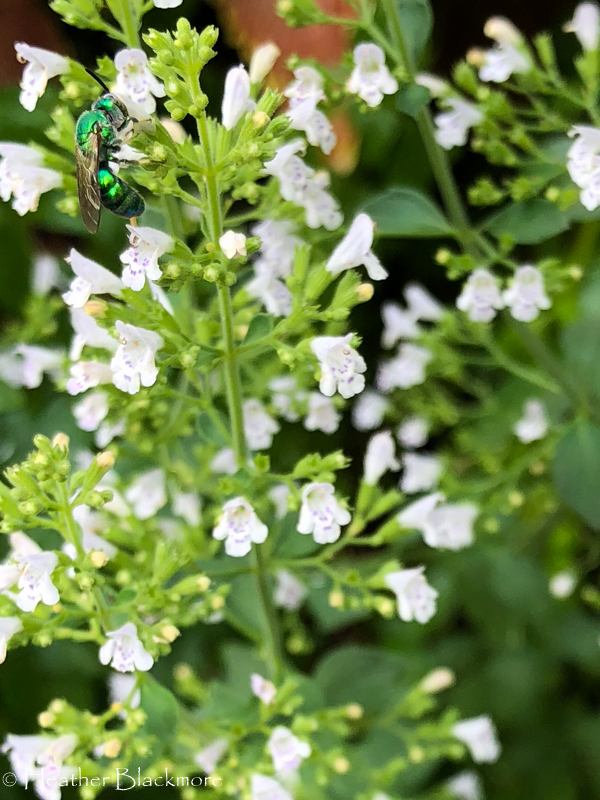 Calamintha nepeta with emerald green bee
