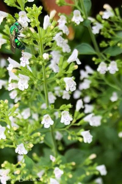 Calamintha nepeta: A Pollinator's Smorgasbord