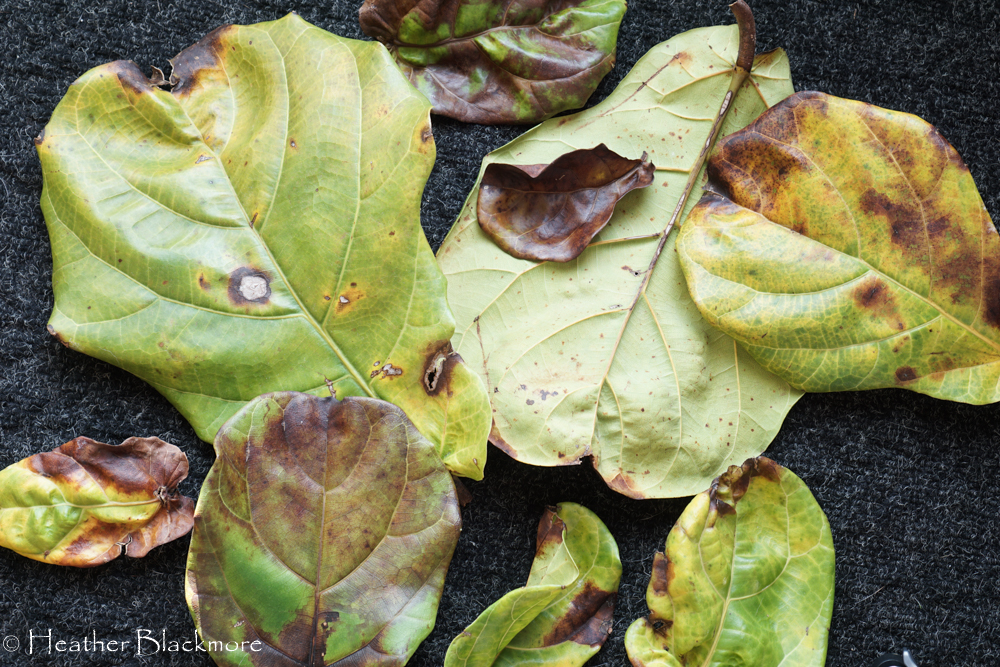 decaying fiddle leaf fig leaves