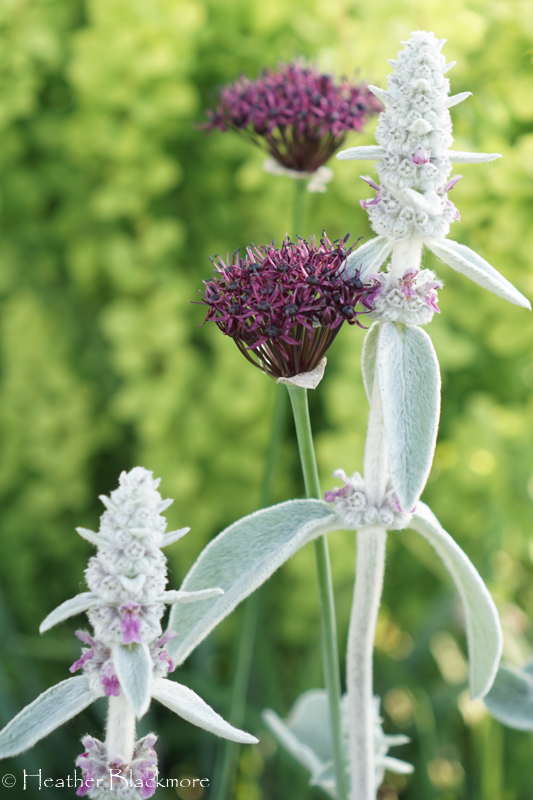 lambs ear with allium atropurpureum