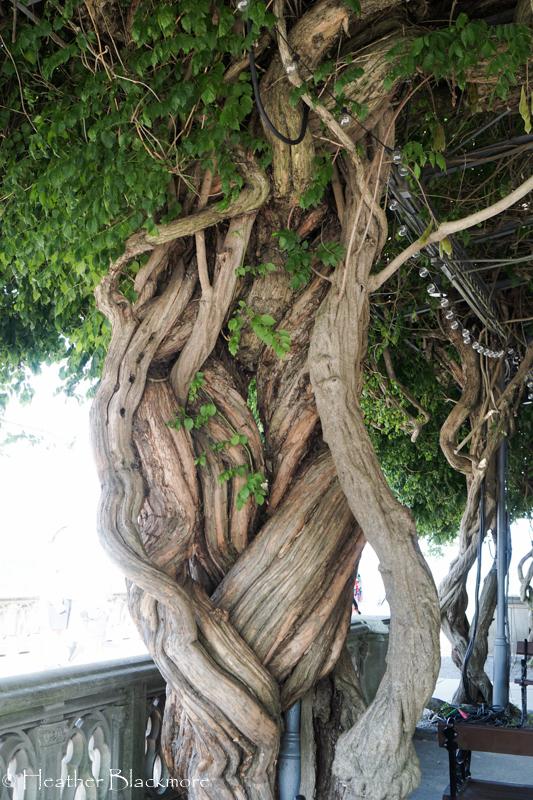 Biltmore wisteria trunks