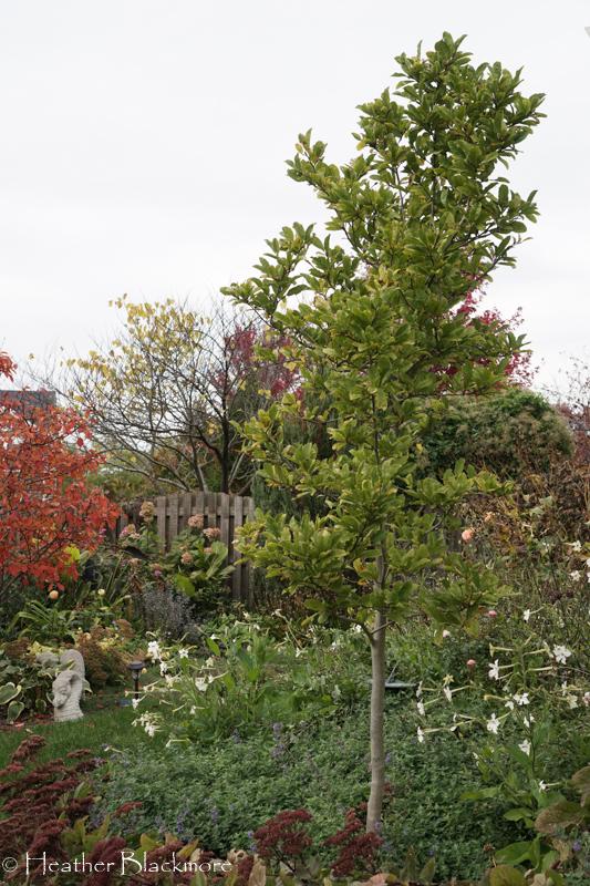 healthy magnolia tree