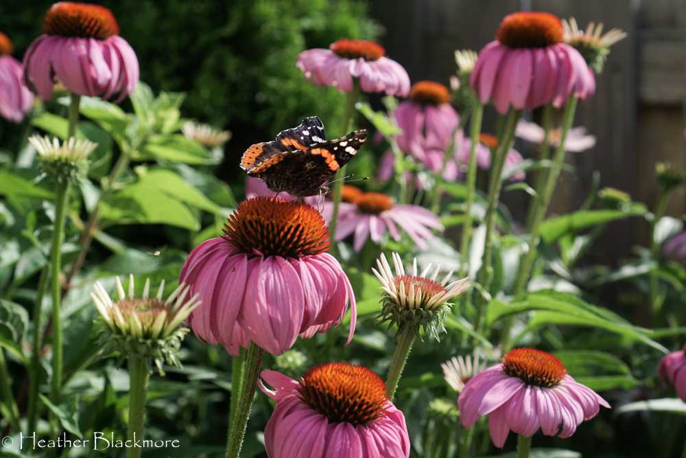Coneflower with red admiral butterfly