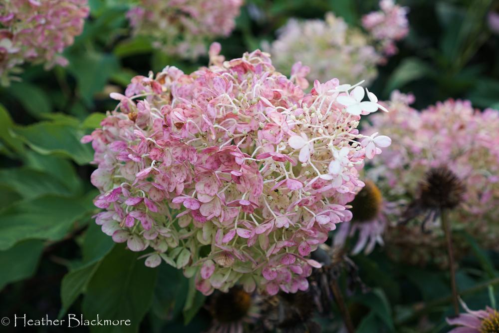 Vanilla Strawberry hydrangea flower