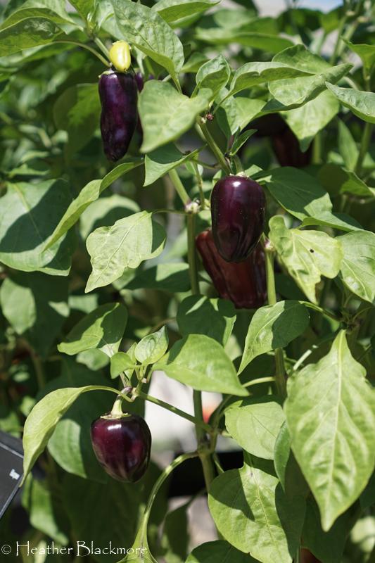 Mardi Gras Fun Purple pepper