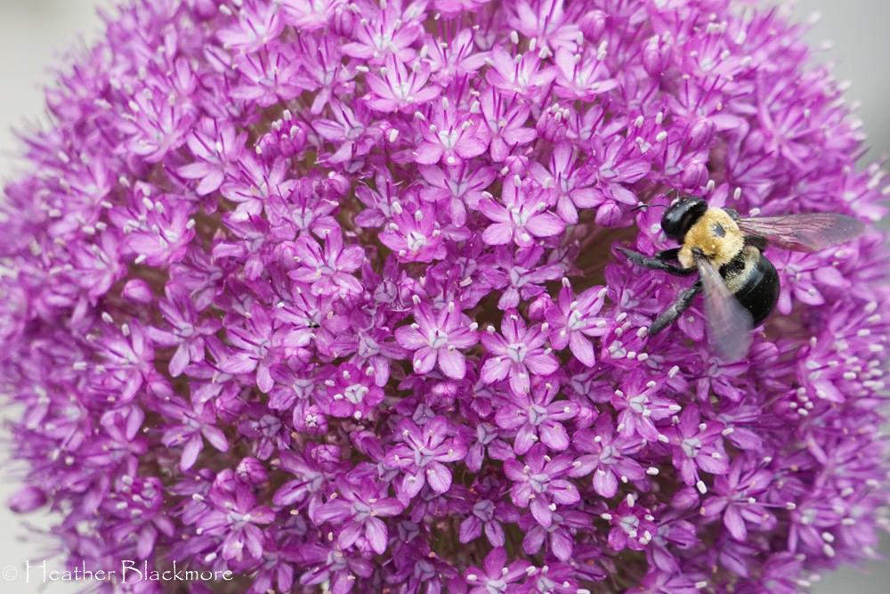 Bumblebee on allium