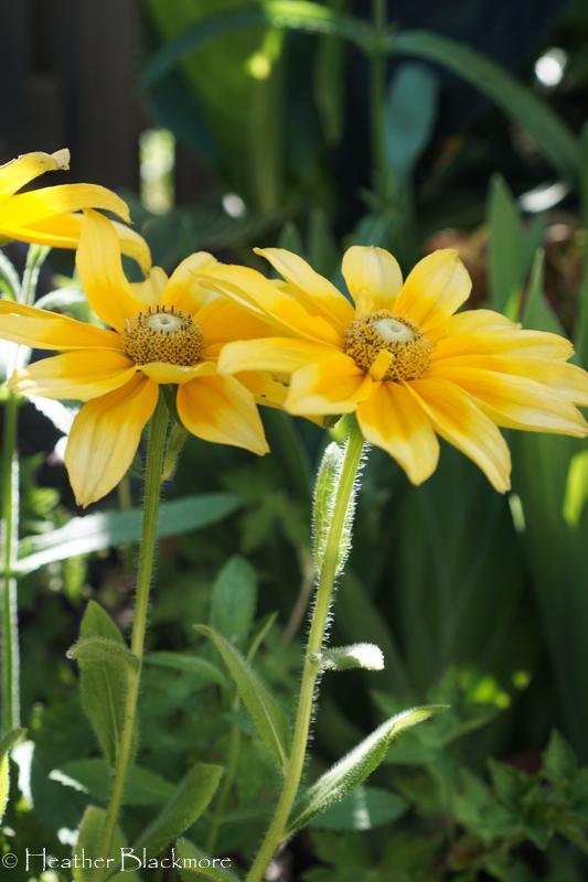 Prairie Sun Rudbeckia