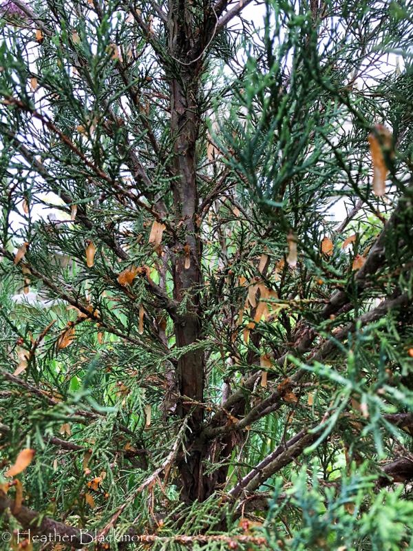 cedar rust fungus on juniper branches