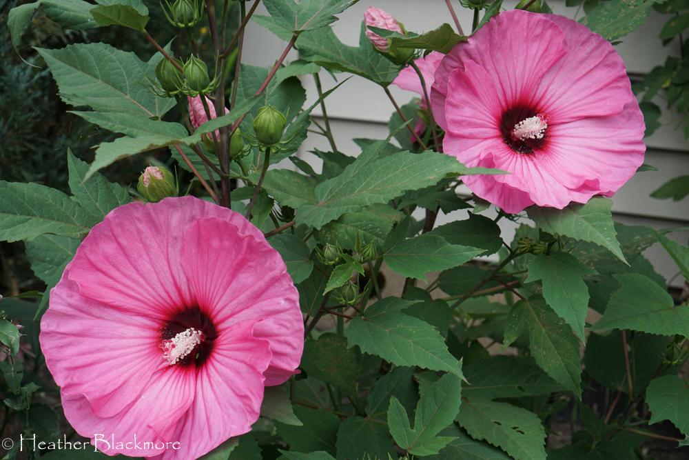 Candy Crush hibiscus
