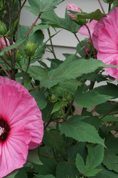 Perennial Hibiscus: Bridging the Gap Between Summer and Fall