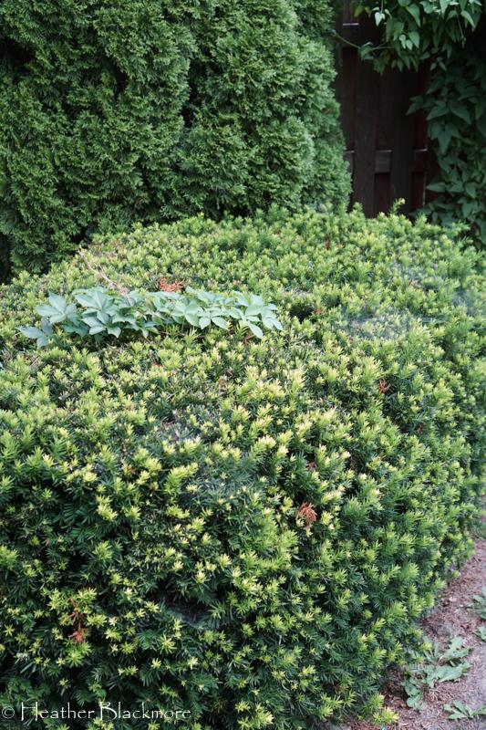 Virginia Creeper growing through yews