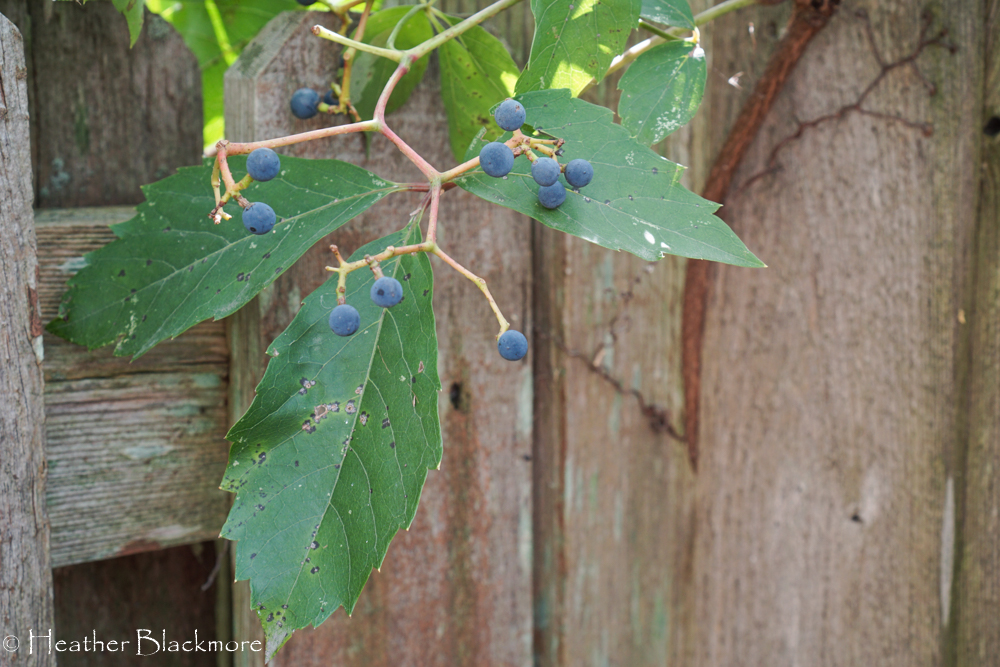 Blue berries on Virginia Creeper