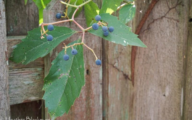 Blue berries on Virginia Creeper