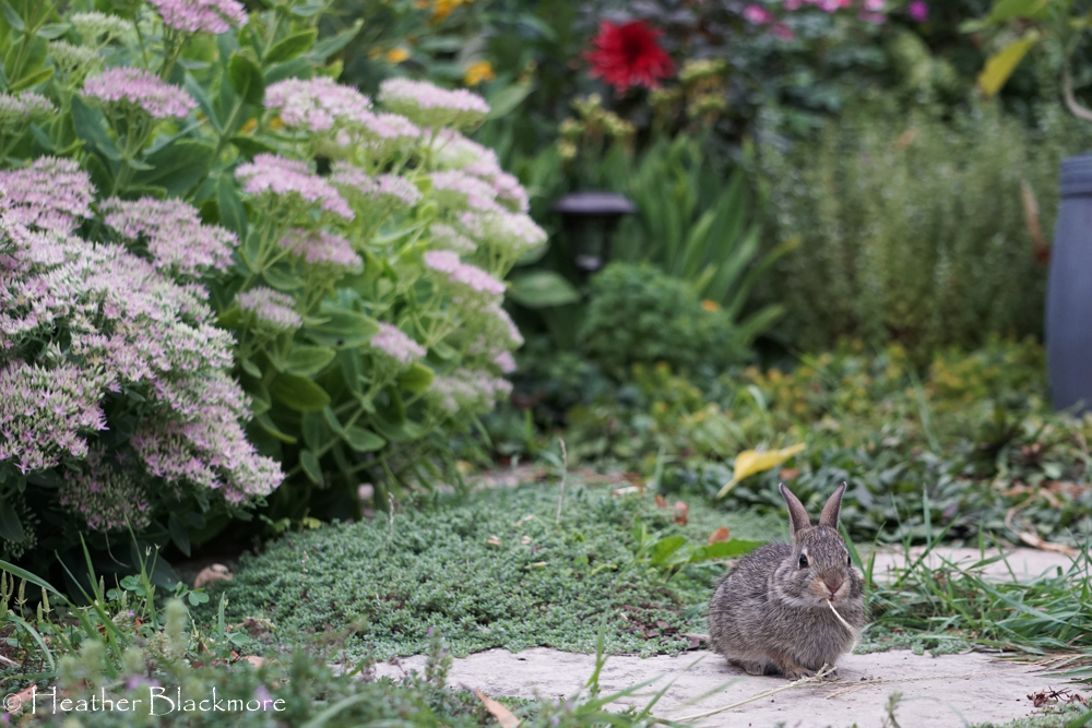 baby rabbit eating plant