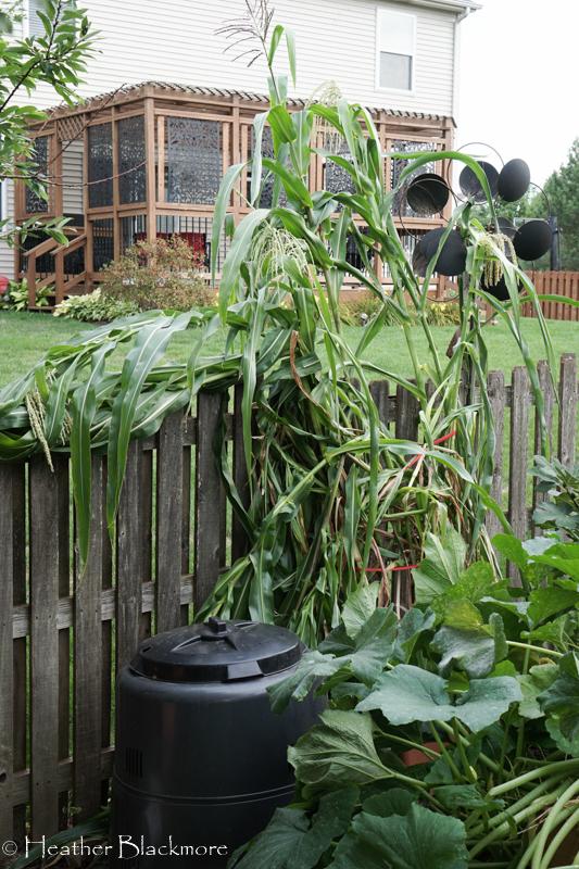 wind damaged corn