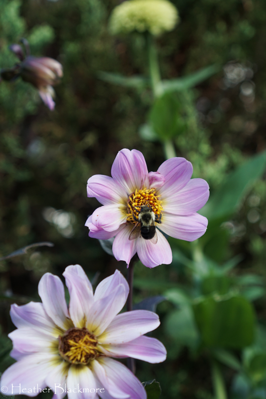 Bishop of Dover dahlia with bumblebee