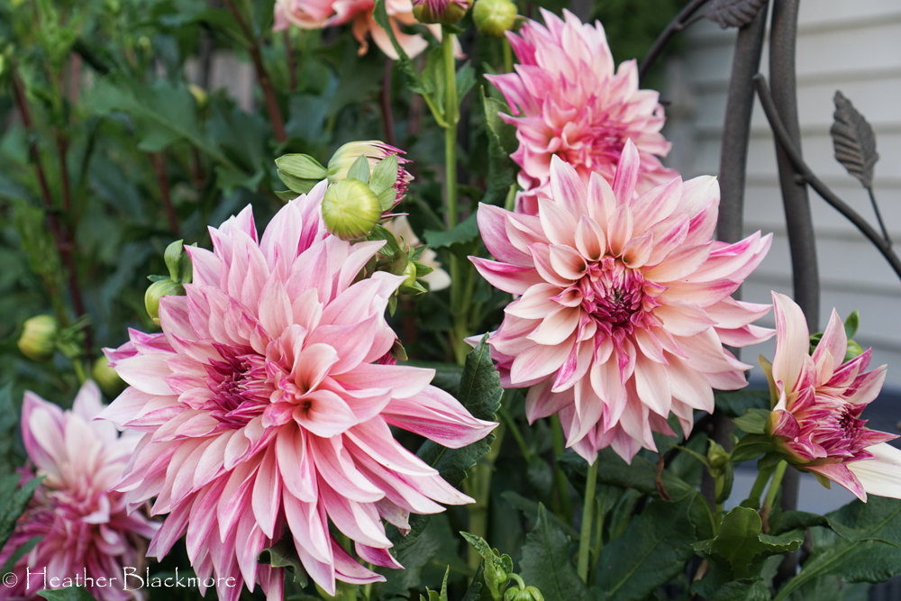 Cafe au Lait Royale dahlias