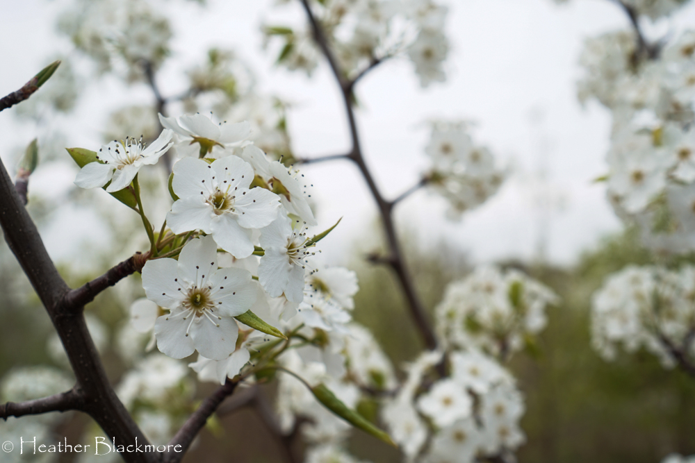 Callery Pear blossoms